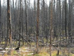 Forest fire - nature's rejuvenator
