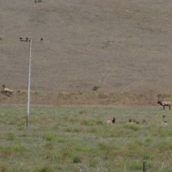 The bull elk was chasing off another bull from stealing his harem.